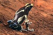 foto of poison dart frogs  - painted poison dart frog Dendrobates tinctorius macro of a beautiful poisonous amphibian - JPG