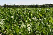 stock photo of sugar industry  - Sugar beet harvest in October in Schleswig Holstein - JPG