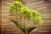 stock photo of bonsai  - five bonsai trees on a tree stub - JPG