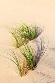 pic of wind blown  - Wind blown grass on fine sand dune - JPG