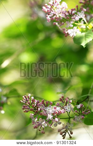Branch of lilac on blurred background