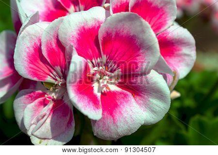 flower viola