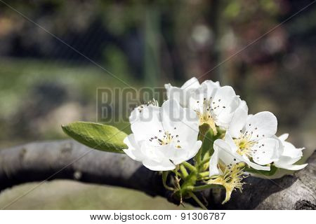 white flower of the pear tree