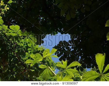 horse chesnut tree canopy