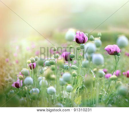 Beautiful purple poppy flowers
