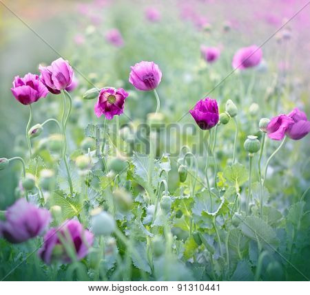 Purple poppy flowers