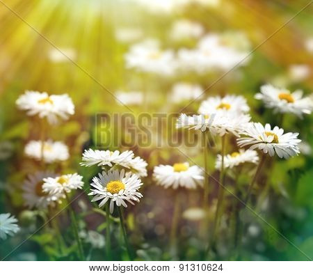 Spring daisy flowers in late afternoon