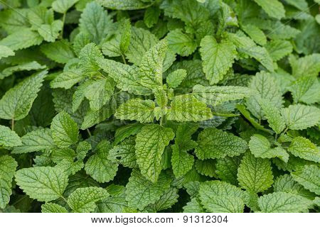 Detail of the garden herb, lemon balm or know by it's botanical name Melissa officinalis.