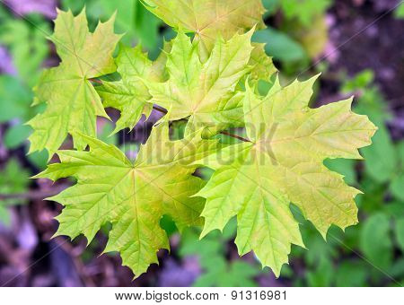 New Maple Leaves