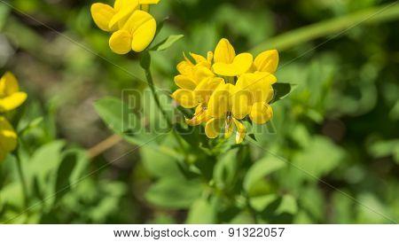 Birdsfoot Trefoil. Lotus Corniculatus. Yellow Blooms.
