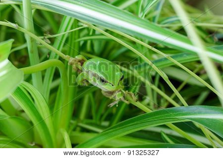 Little green frog looking