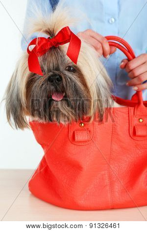 Cute Shih Tzu in red female bag, closeup