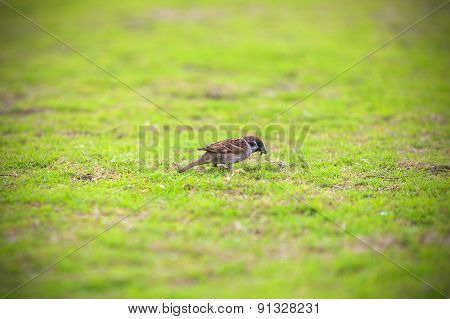 The Sparrow on the grassland.