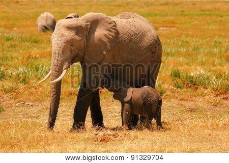 Elephants In Amboseli