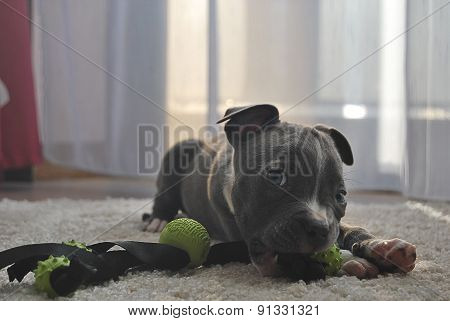 Puppy bulldog enjoy his toy