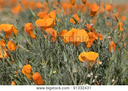 Antelope Valley Poppy Reserve, California, Usa