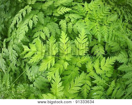 Wide Green Pinnate Leaves Closeup