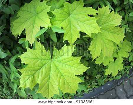 Leaves Of A Young Maple Tree On The Background Of A Bush