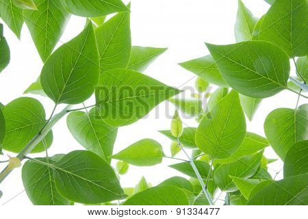 fresh and green leaves isolated on white