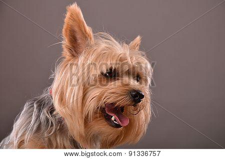Yorkie Dog Portrait