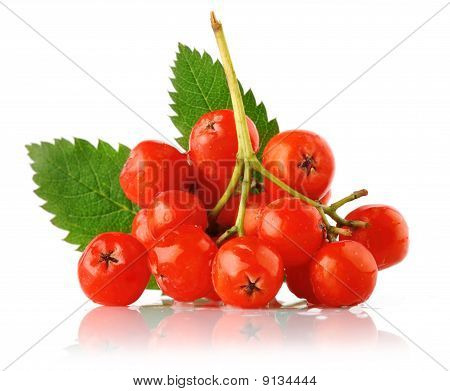 ashberry cluster with red berry and green leaf