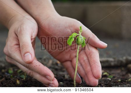 Human Lady Hands Protect The Tamarind Sprout