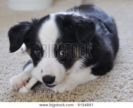 Australian Shepherd (Aussie) Puppy Chewing