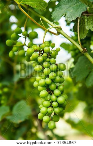 Grapes on the tree in garden