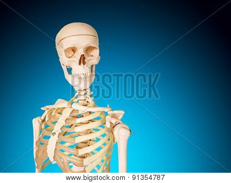 Human Skeleton Isolated On Blue Background.