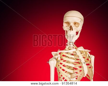 Human Skeleton Isolated On Red Background