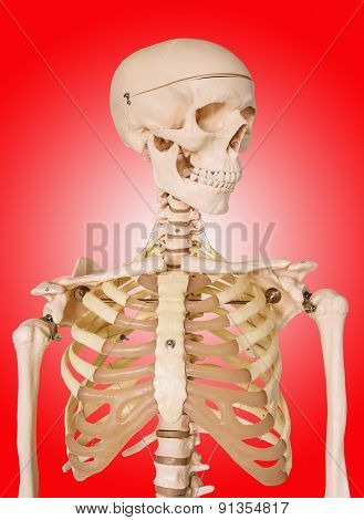 Human Skeleton Isolated On Red Background.
