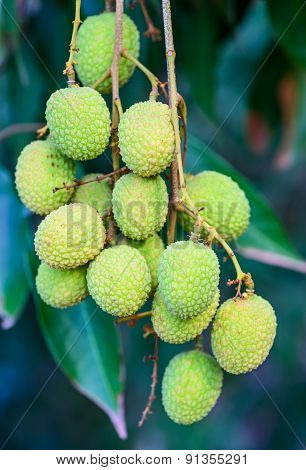 Young Lychee Fruit On The Tree, Asia Fruit.