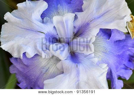 Plant Blue Iris.