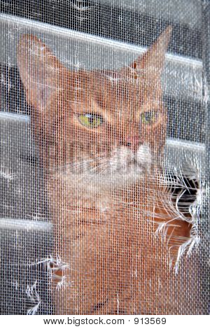 Abyssinian Cat Looking Out A Window