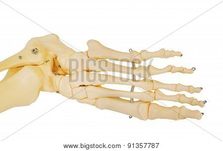 Model of a human foot, with all the toes bones and the ankle.