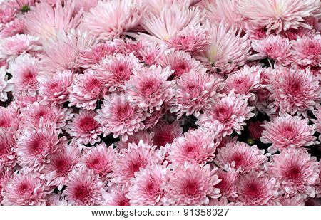 blooming pink chrysanthemums