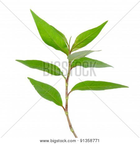 Hot Mint, Vietnamese Mint Isolated On White Background