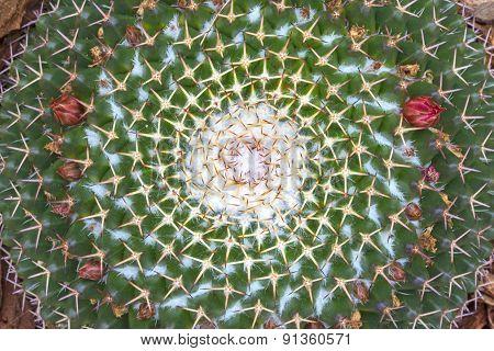 Mammillaria Cactus Pattern Closeup