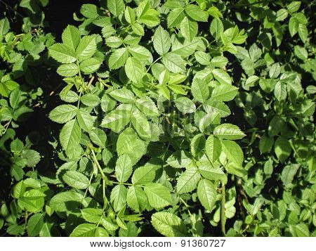 Briar Rose Leaves