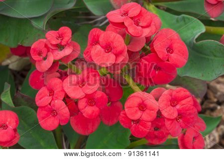 Crown Of Thorns Red Flowers