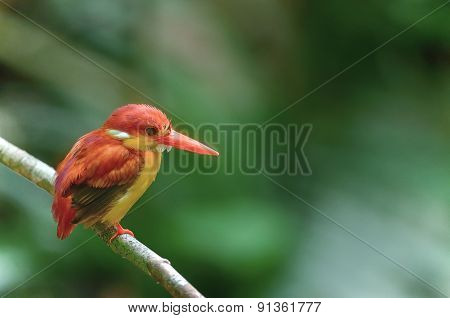Beautiful Bird (rufous-backed Kingfisher) Perching On Branch