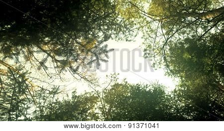 Forest, Pine Trees Background
