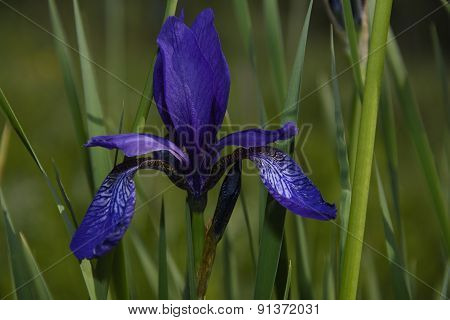 Blooming Iris Forest
