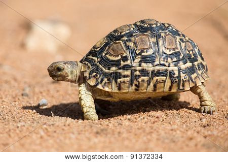 Leopard Tortoise Walking Slowly On Sand With Protective Shell