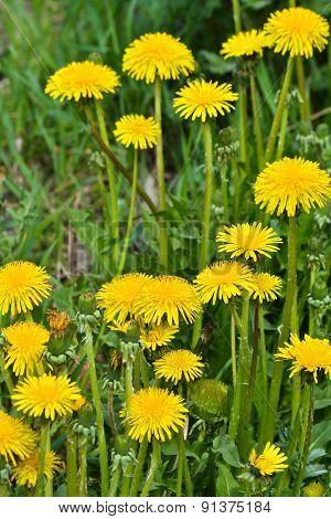Dandelions In The Meadow.