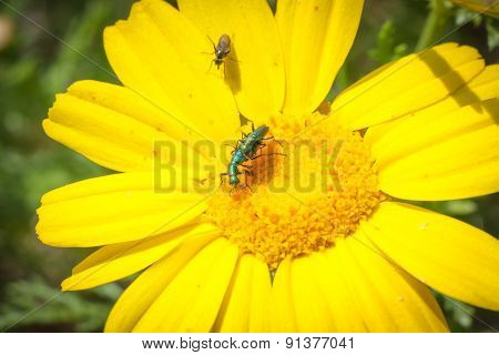 Coupling Daisy Beetles