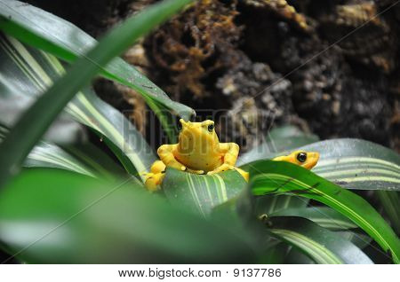 Yellow Poison Dart Frog