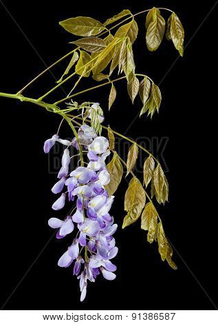 Closeup of Wisteria raceme isolated on black background
