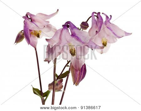 Aquilegia vulgaris flower, also called Granny's Bonnet or Columbine, isolated on white background
