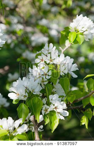 Branch Of A Blossoming Pear Tree Close Up